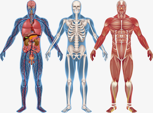 human body model clipart 4
